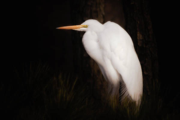 Photograph - Great Egret Portrait by Michael and Lisa McStamp