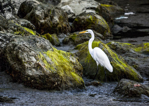 Photograph - Great Egret Pose by Brian Tada