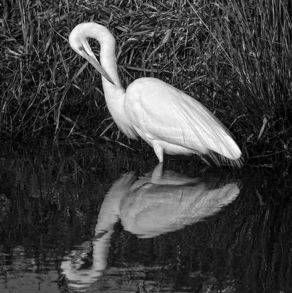 Photograph - Great Egret Preening by Wes and Dotty Weber