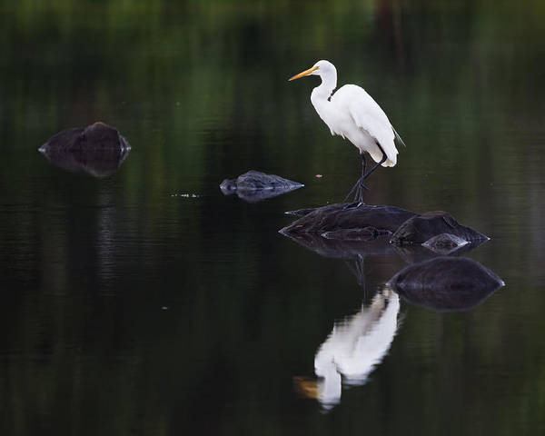Photograph - Great Egret Reflection by Kirkodd Photography Of New England