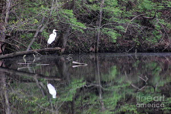 Photograph - Great Egret Resting by Karen Adams