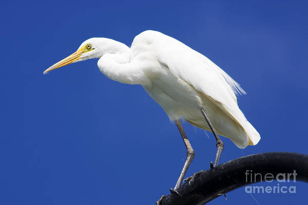 Ardea Photograph - Great Egret by Jorgo Photography - Wall Art Gallery