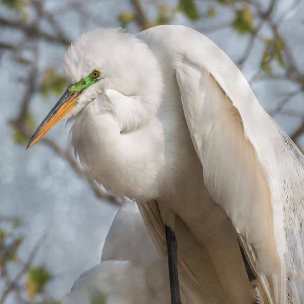Photograph - Great Egret Square  by Patti Deters