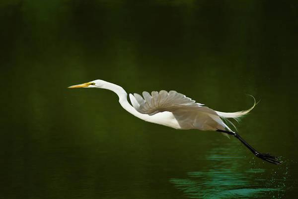 Photograph - Great Egret Takeoff by Onyonet  Photo Studios