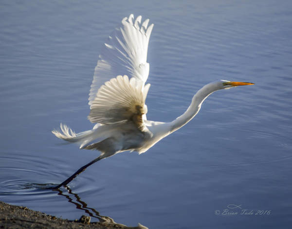 Great Egret Taking Flight Art Print
