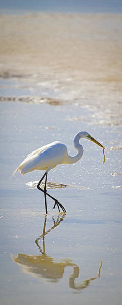 Photograph - Great Egret With Prey by Patrick M Lynch