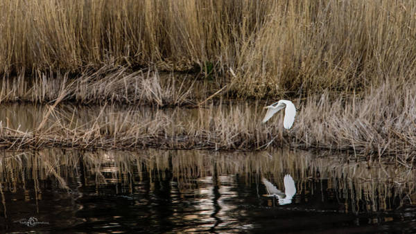 Photograph - Great Egret's Flight To A New Position by Torbjorn Swenelius