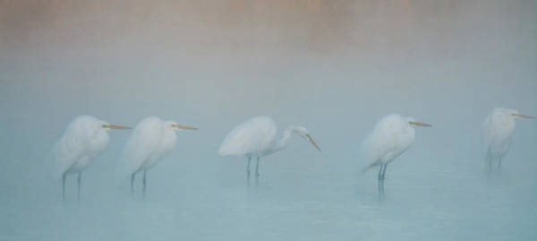 Photograph - Great Egrets In The Mist 1998-012118-1cr by Tam Ryan
