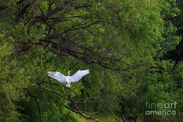 Great Egrets In The Shore Art Print