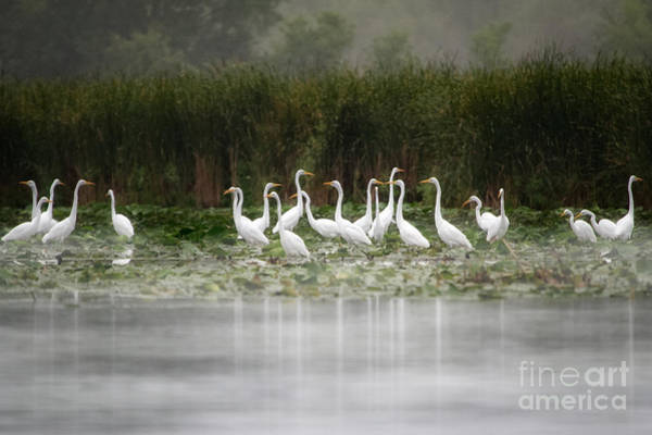 Horicon Wall Art - Photograph - Great Egrets by Jarrod Erbe