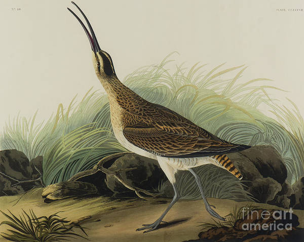 Wall Art - Painting - Great Esquimaux Curlew, 1835 by John James Audubon