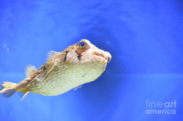Balloonfish Photograph - Great Globefish Swimming Under The Water's Surface by DejaVu Designs