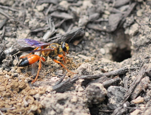 Digger Bee Photograph - Great Golden Digger Wasp by Michelle DiGuardi