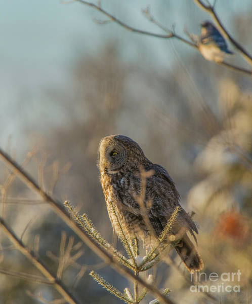 Wall Art - Photograph - Great Grey Owl And Blue Jay by Julie DeRoche