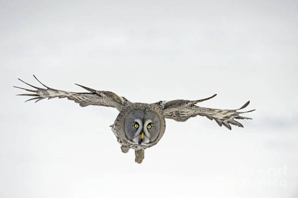 Photograph - Great Gray Owl Flying by Jan Vermeer