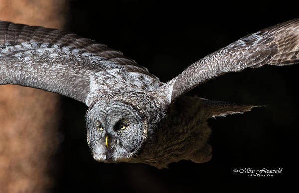 Photograph - Great Gray Owl In Flight by Mike Fitzgerald