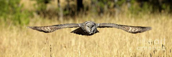 Wall Art - Photograph - Great Gray Owl In Flight by Wildlife Fine Art