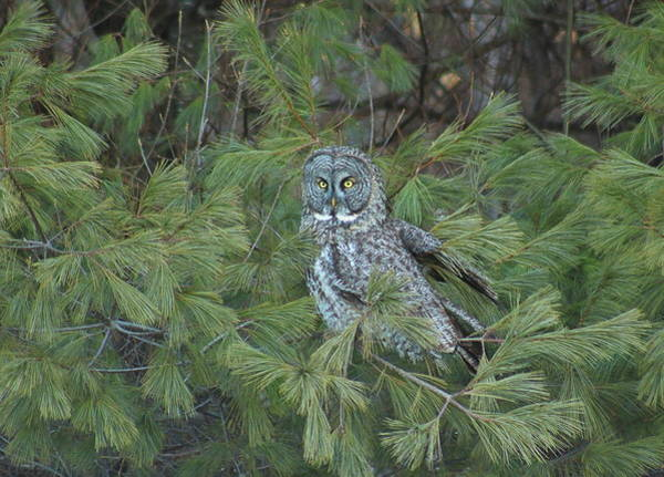 Wall Art - Photograph - Great Gray Owl In Pine Tree by John Burk