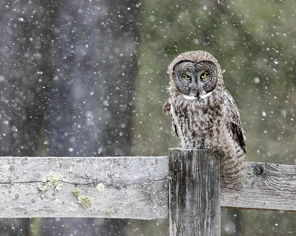 Photograph - Great Gray Owl In Snowstorm by John Vose