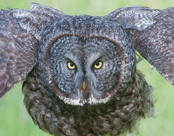 Great Gray Owl Flight Portrait Art Print