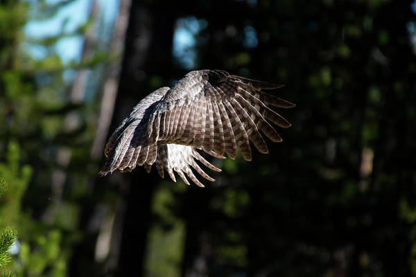 Photograph - Great Gray Owl Lucky Shot 1 by Frank Madia