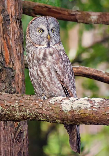 Photograph - Great Gray Owl On Alert by Loree Johnson