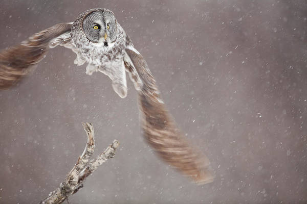 Wall Art - Photograph - Great Gray Owl On The Wing by Tim Grams