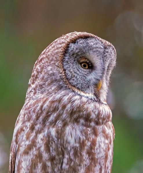 Photograph - Great Gray Owl Portrait by Loree Johnson