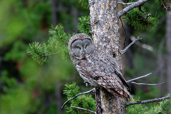 Photograph - Great Gray Owl by Ronnie and Frances Howard