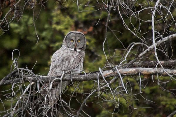Photograph - Great Gray Owl by Steve Stuller