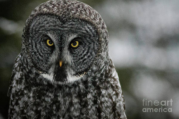 Photograph - Great Grey Owl by Brad Allen Fine Art