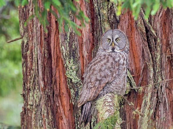 Photograph - Great Grey Owl In A Giant Redwood by Loree Johnson