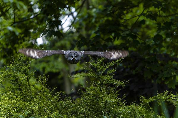 Great Grey Owl In Flight Art Print