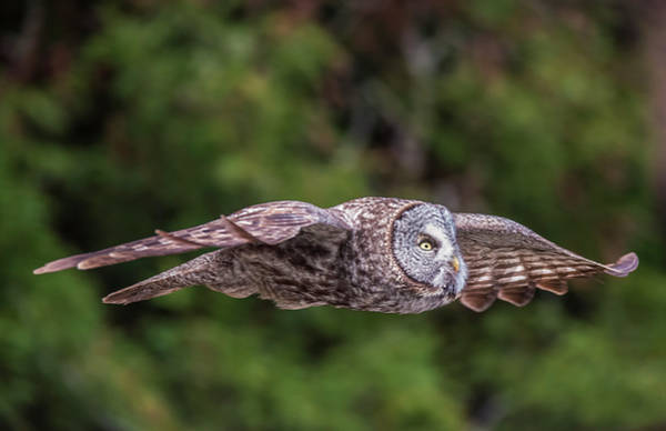 Photograph - Great Grey Owl In Flight by Loree Johnson