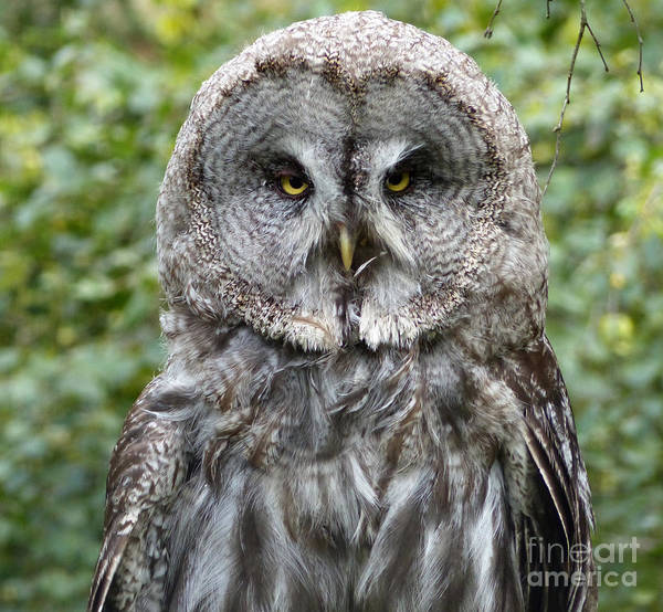Photograph - Great Grey Owl by Phil Banks