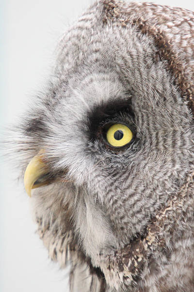 Photograph - Great Grey Owl by Pierre Leclerc Photography