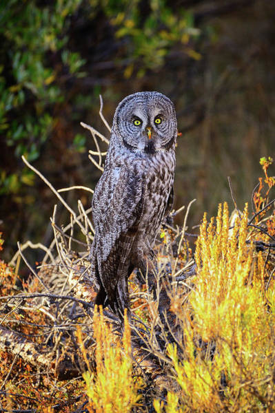 Photograph - Great Grey Owl Portrait by Greg Norrell