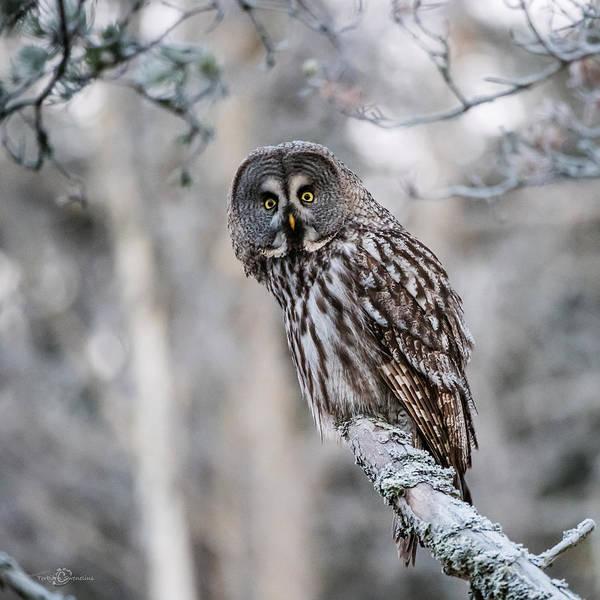 Photograph - Great Grey Owl by Torbjorn Swenelius
