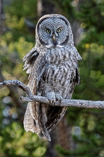 Photograph - Great Grey Owl Yellowstone by Wes and Dotty Weber