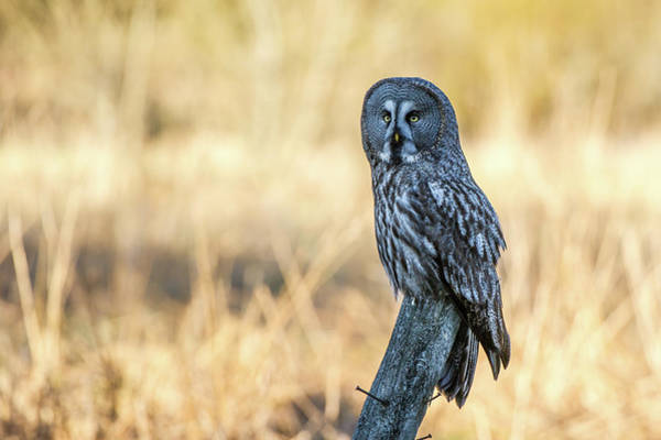 Photograph - Great Grey Perching by Torbjorn Swenelius