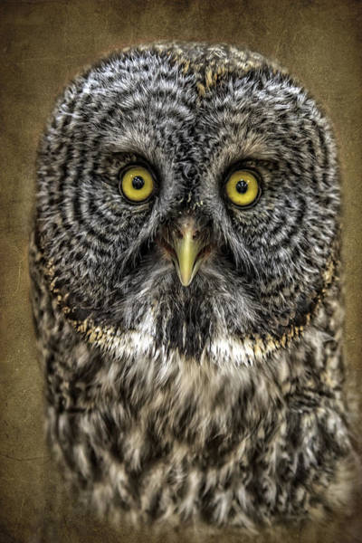 Photograph - Great Grey Portrait by Wes and Dotty Weber