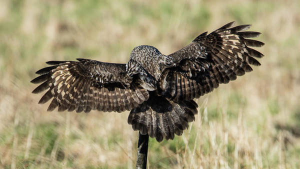 Wing Back Photograph - Great Grey's Back by Torbjorn Swenelius