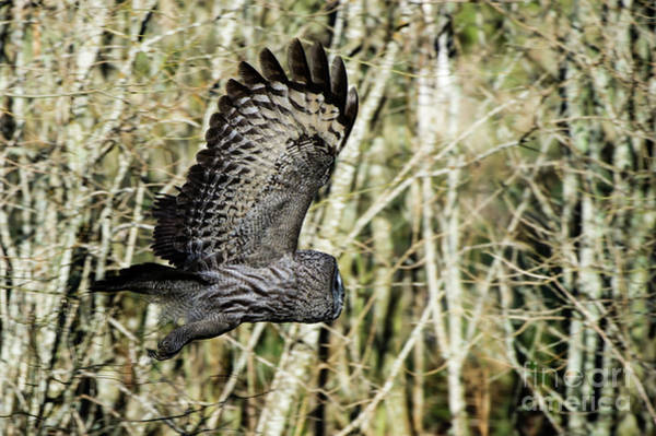 Wing Back Photograph - Great Grey's Flight by Torbjorn Swenelius