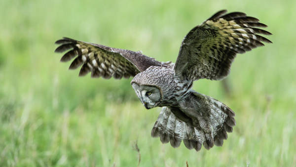 Wing Back Photograph - Great Grey's Focused Gaze by Torbjorn Swenelius
