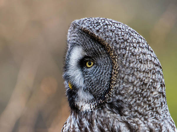 Photograph - Great Grey's Profile A Closeup by Torbjorn Swenelius