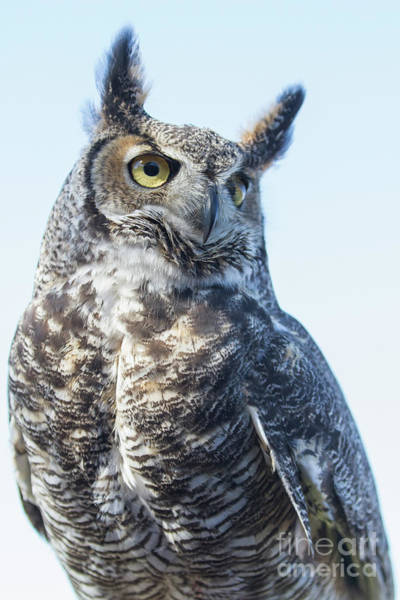 Photograph - Great Horned Owl 1 by Chris Scroggins
