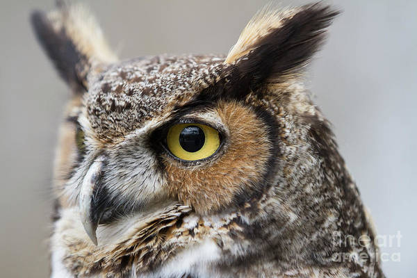 Photograph - Great Horned Owl 2 by Chris Scroggins