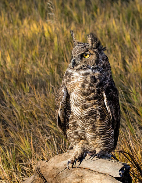 Wall Art - Photograph - Great Horned Owl 2 by Dawn Key