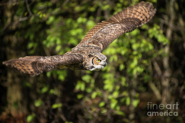 Photograph - Great Horned Owl-2419 by Steve Somerville