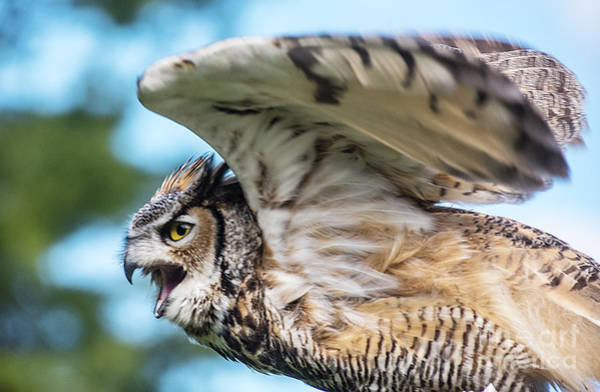 Photograph - Great Horned Owl-2486 by Steve Somerville